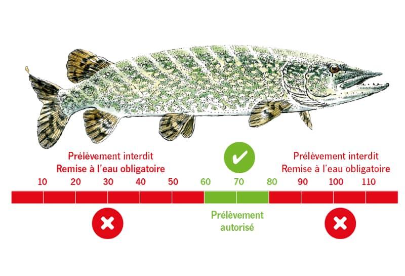 Schéma illustrant la fenêtr de capture pour l'espèce brochet